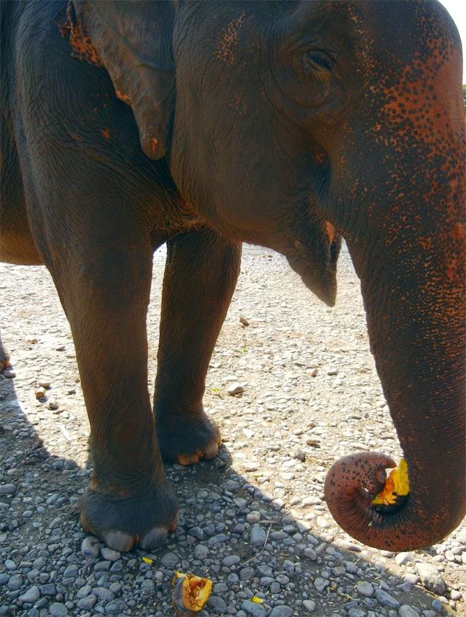 Elephant Eating at Elephant Nature Park
